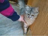 قطة انثى شيرازي العمر سنة ونص للبيع في ( الرياض )