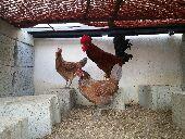 ديك و دجاجتين بياضه للبيع