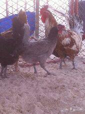 دجاج بيض ..4.. دجاج ..1... وديك  ..مجمواع 5  الحبه 40