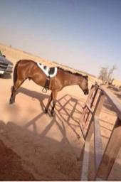 حصان انجليزي هادي