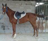 حصان انقليز لبيع