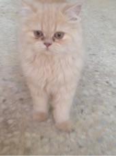 قطط هملايا وشيرازي