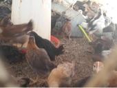 بيض دجاج بلدي للبيع