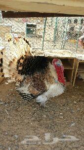 دجاج بلدي ورومي وبط وحمام
